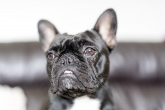 French Bulldog Portrait - North East Wedding Photographer.jpg