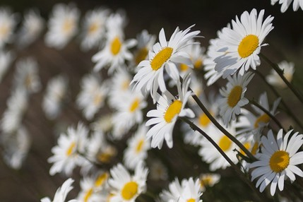 Daisies - North East Wedding Photographer.jpg
